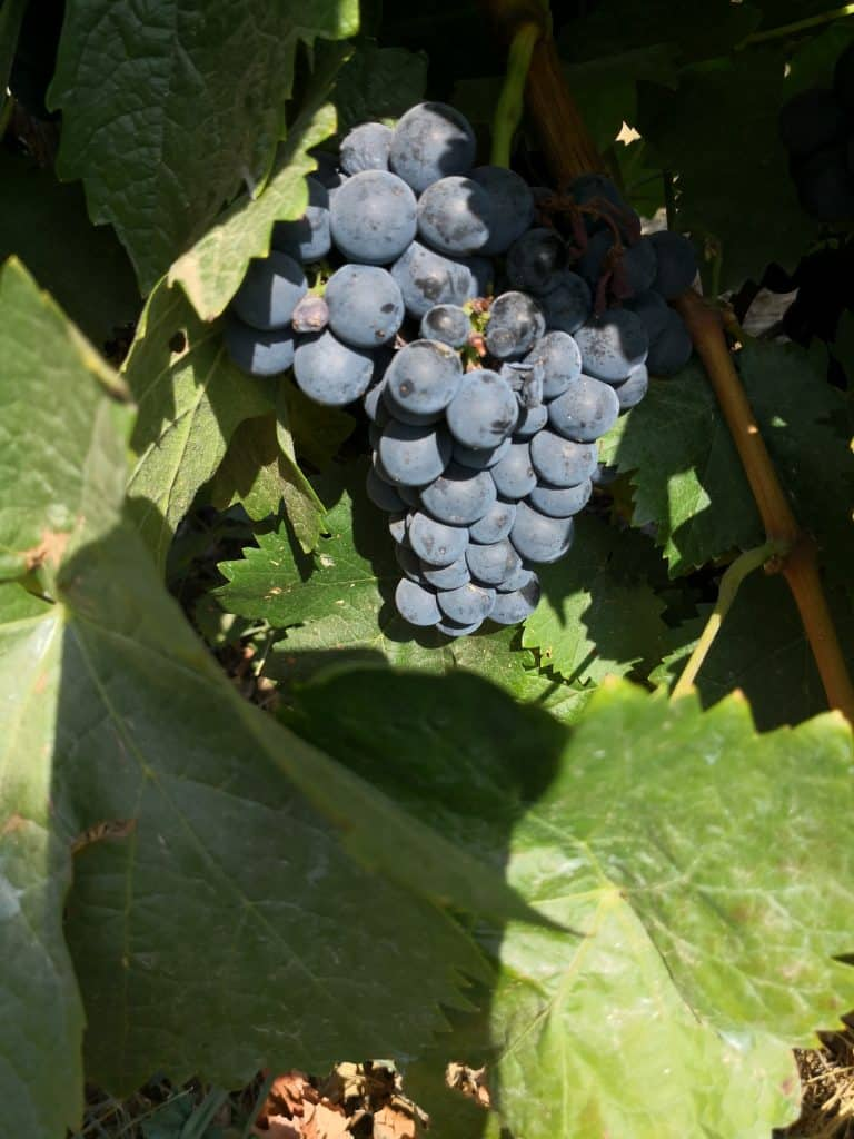real wine grapes with seeds