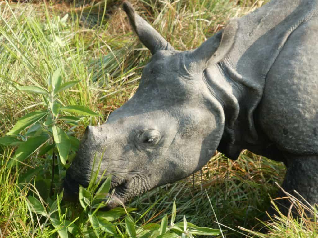 rhino chitwan